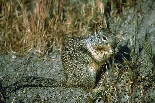 cagroundsquirrel