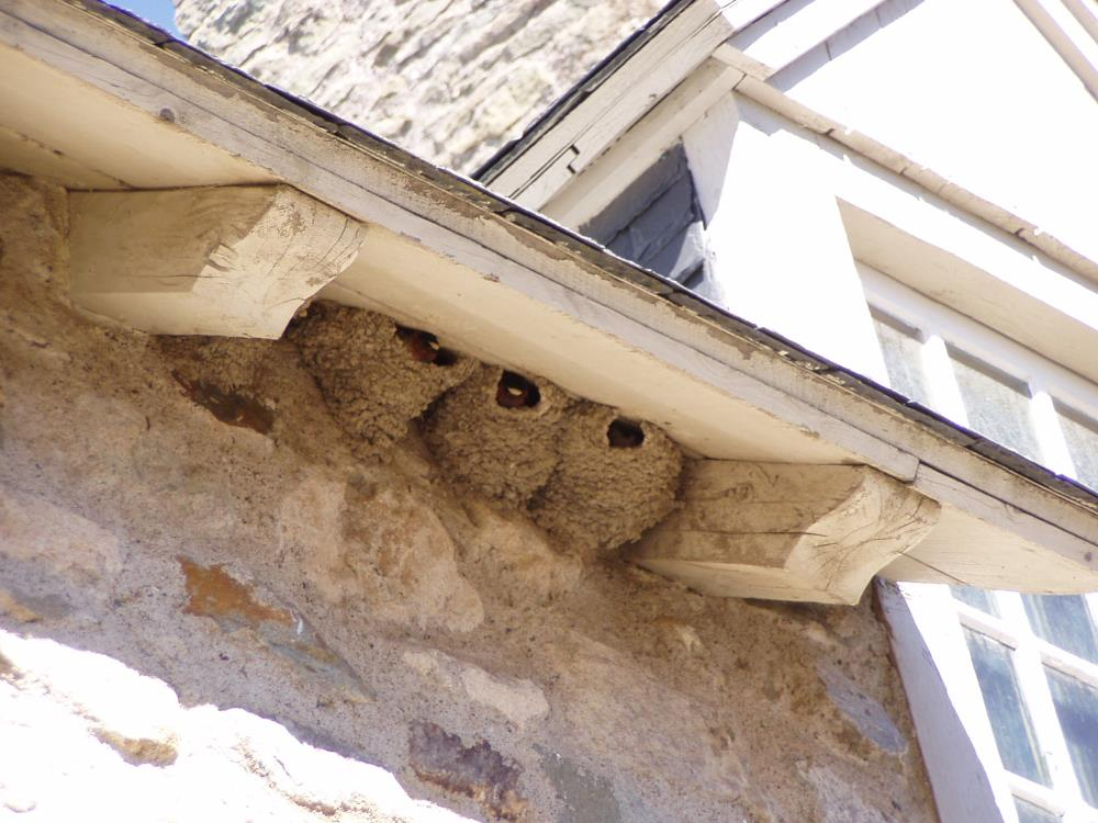 cliff swallow house nest
