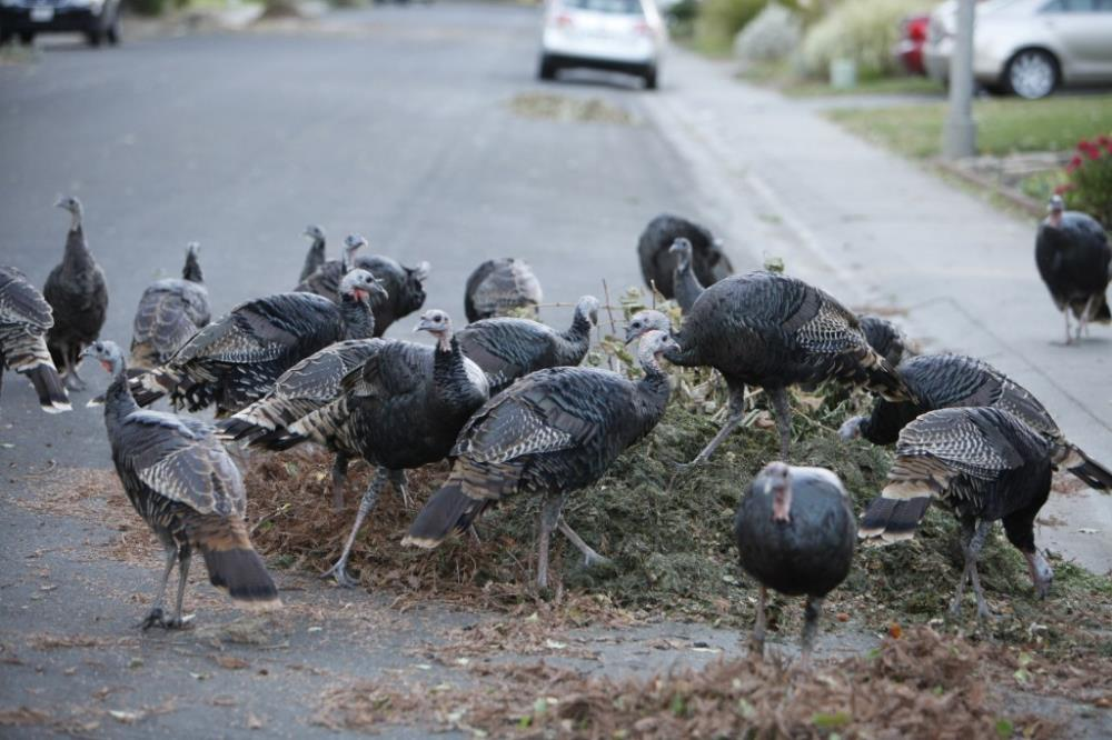 turkeys on greenwaste_davis enterprise
