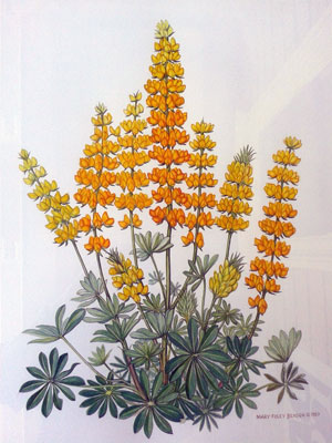 Golden Lupine by Mary Foley Benson, copyright 1980