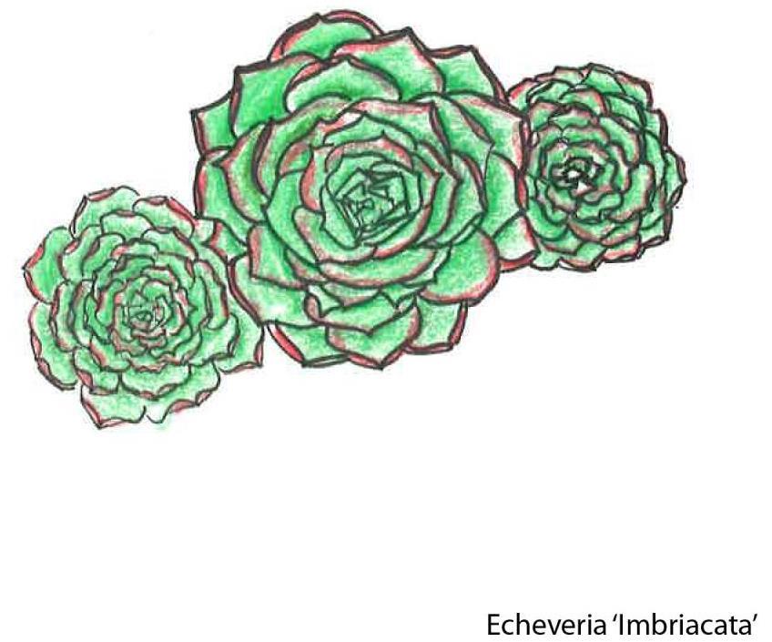 Echeveria Imbriacata